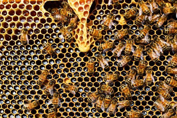 apis-mellifera-bee-beekeeping-56876